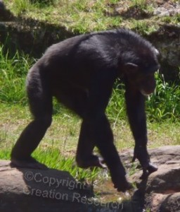 Chimp Walking