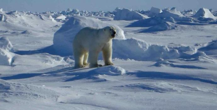 polar-bear-snow