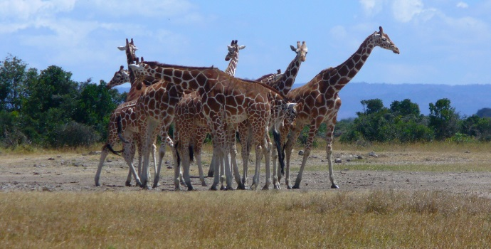 GIRAFFES: If natural selection favoured long necked ...
