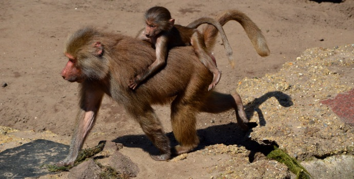 Monkey Mother Baby