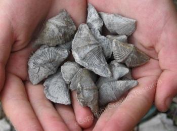 brachiopods-wm1r