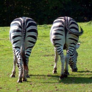 zebras-2