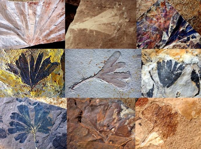 Ginkgo Fossils