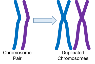 Chromosome Copies