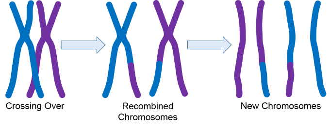 Chromsome Recombination