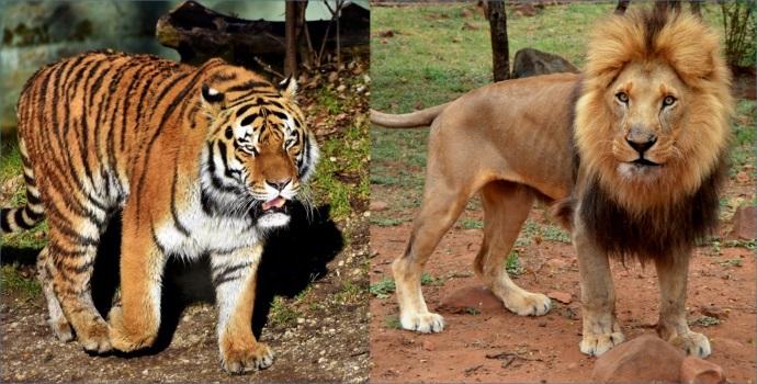 Tiger Lion