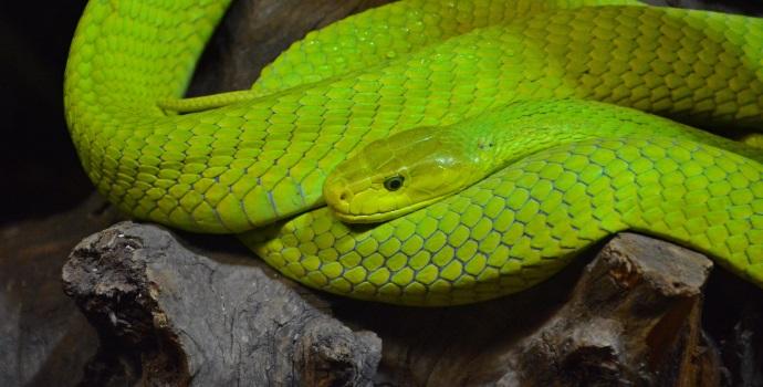Green Mamba Venomous Snake